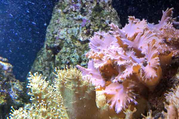 sinularia and devil's hand coral