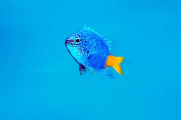 Stunning closeup of Yellowtail damselfish on blue background