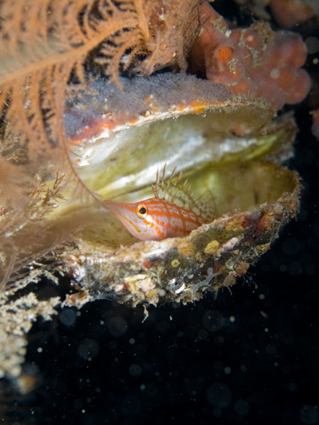 Longnose hawkfish perched in shell