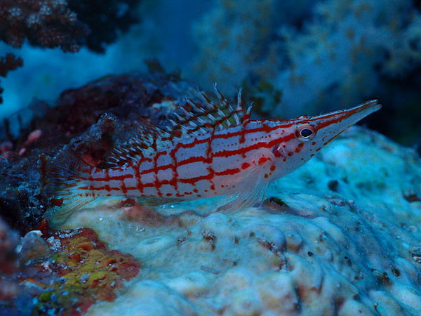 While beautiful, longnose hawkfish have pros and cons