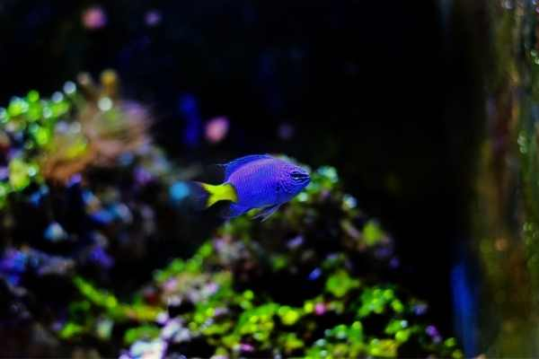 Yellowtail blue damselfish with green algae in background