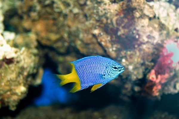 Chrysiptera parasema is one of the most popular saltwater fish for a reason