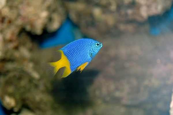 Yellowtail damselfish with nice bokeh reef rocks in background