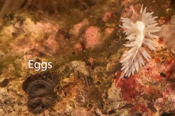 berghia nudibranch on live rock with an egg cluster
