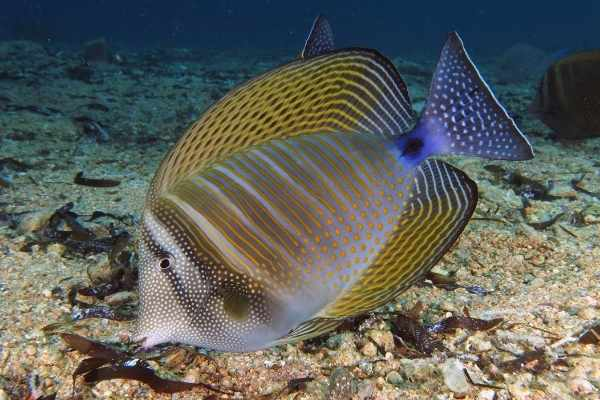 The Desjardin's sailfin tang is often confused for the sailfin