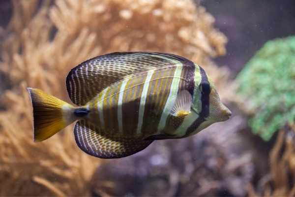 Sailfin tangs make a stunning addition to any reef tank
