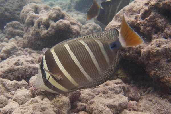 Sailfin tangs spend most of their time grazing for microalgae