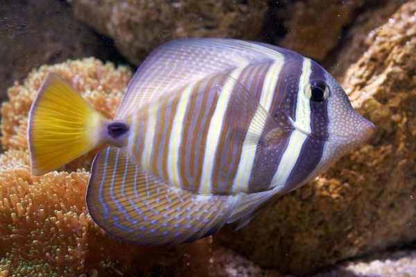 Sailfin tangs have dramatic stripes and colors