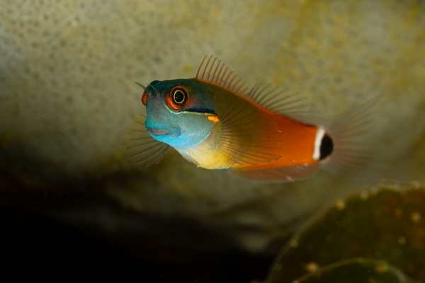 Tailspot blenny on a natural reef