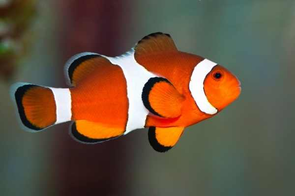False percula clownfish profile image
