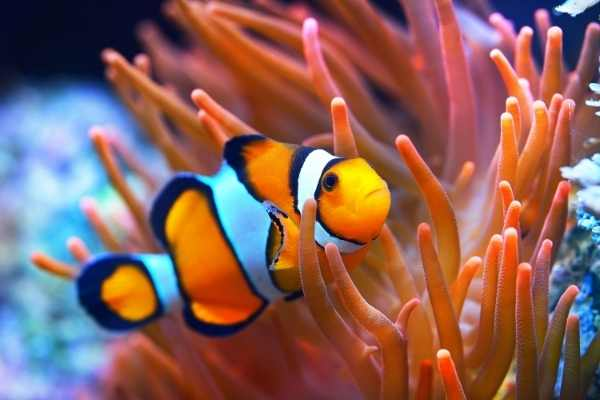 Ocellaris clownfish will host a bubble tip anemone