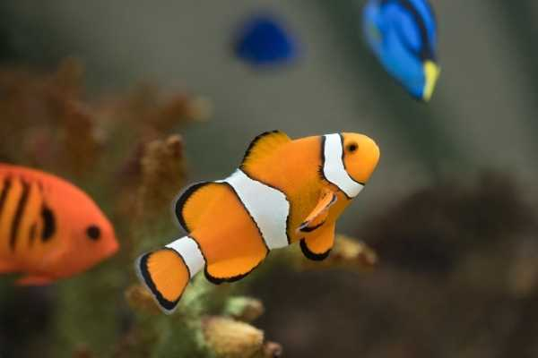 Community reef tank featuring common clownfish