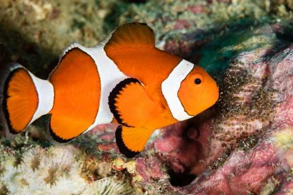 male clownfish tending to egg nest