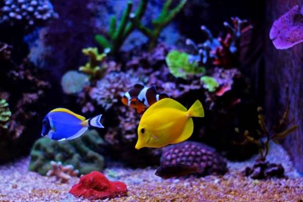Yellow tang in a community tank