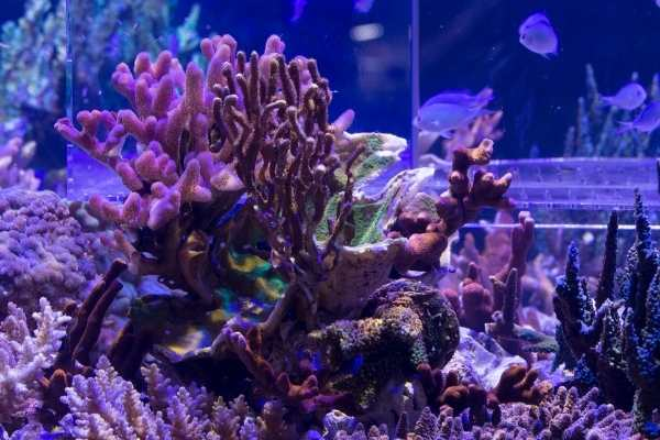Mixed reef tank with gorgonian corals