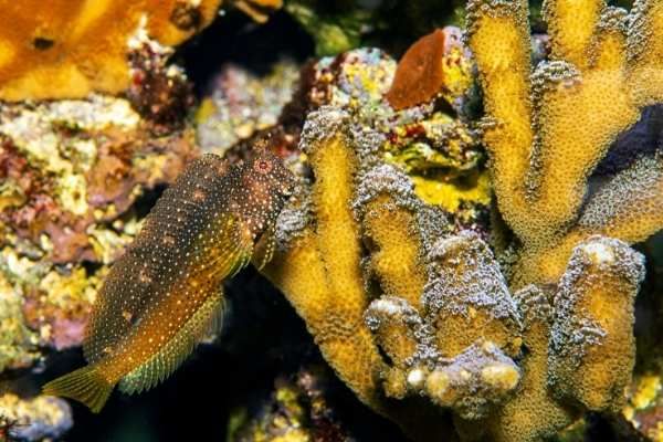 Starry blenny corals