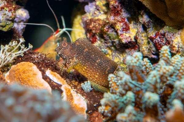 Starry Blenny in reef