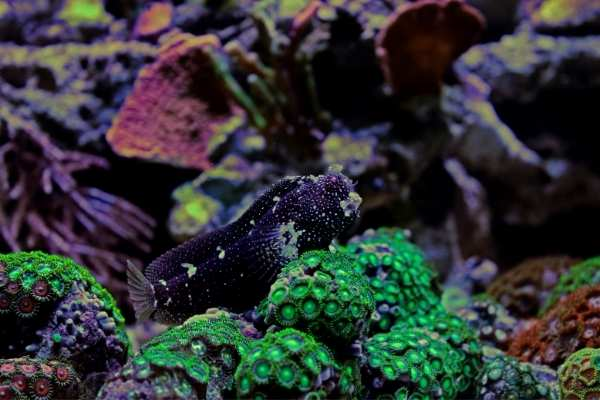 Snowflake blenny on green zoanthids