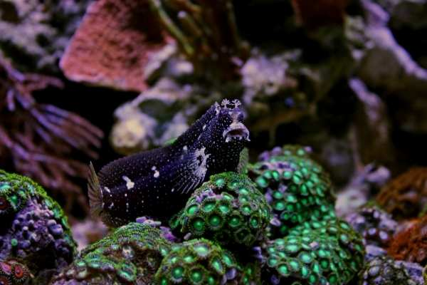 Note the cirri on top of the Snowflake blenny's head