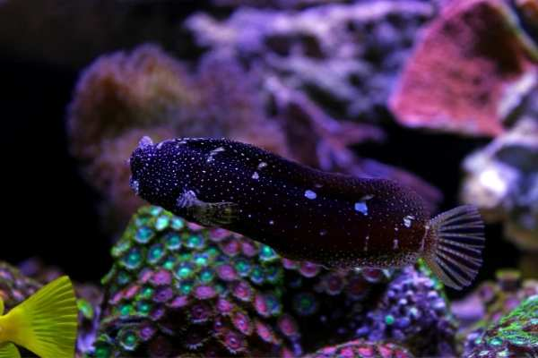 Starry blenny on the move