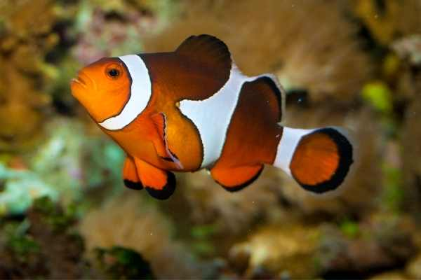 Clownfish swollen with eggs