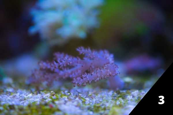 Kenya tree coral in a darker part of the tank
