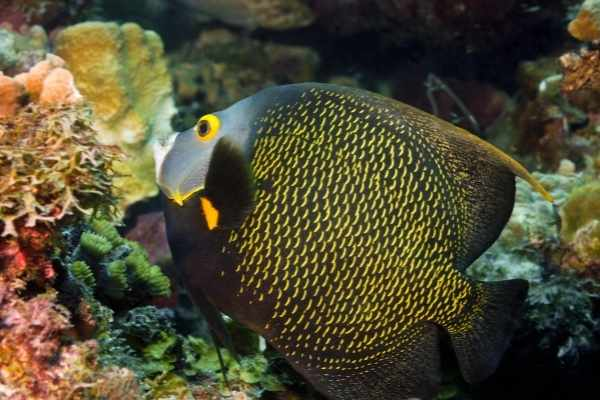 Adult French angelfish coloring