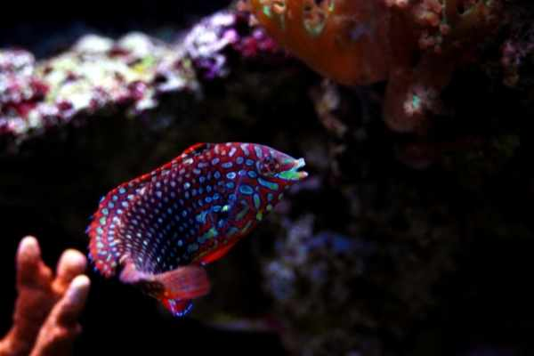 Terminal phase leopard wrasse