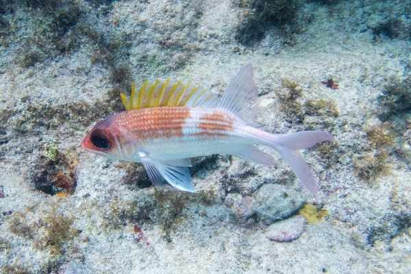 Squirrelfish with erect spines