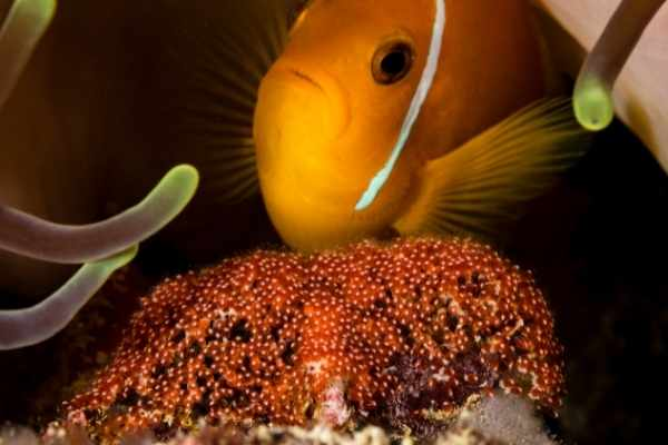 Clownfish swimming just above a nest of eggs laid on a rock under an anemone