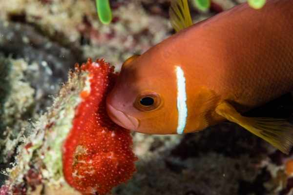 Male clownfish tending to a nest of newly laid red eggs on a rock underwater