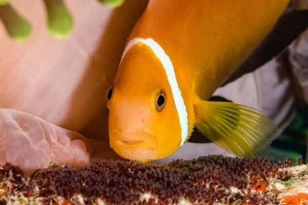 Do clownfish eat their own eggs?