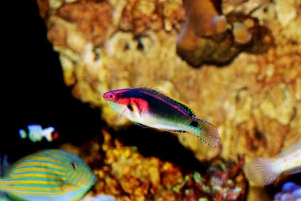 Fairy wrasses do well with plenty of community fish