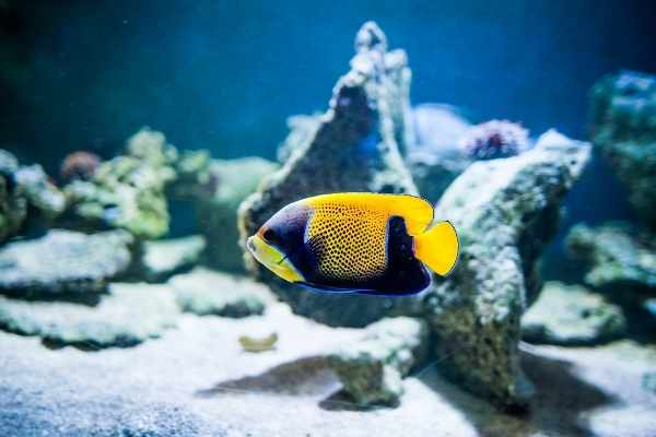 Some majestic angelfish will nibble at corals