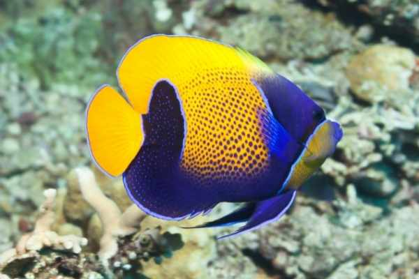 Majestics aren't as boisterous as other angelfish
