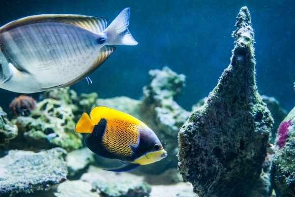 Majestics and tangs work well together