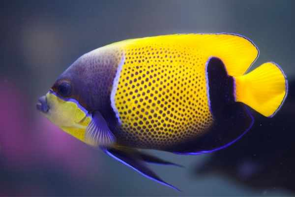 """Majestic angelfish are yellow with a blue """"girdle"""""""