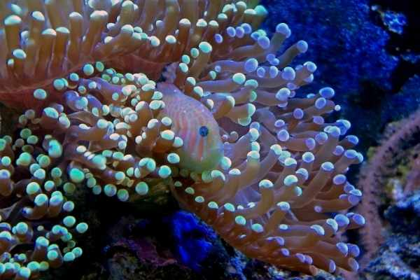 Clown gobies prefer to stay in their host corals