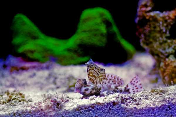 Scooter blenny male with flag displayed
