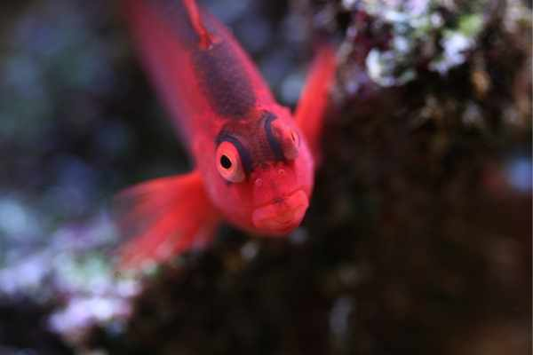 Close-up of flame hawkfish face