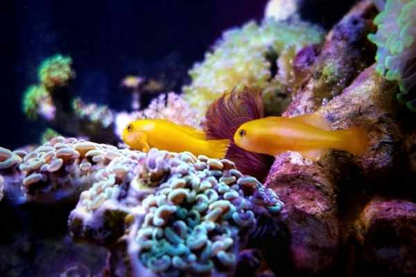 If you get two clown goby, you'll end up with a mated pair
