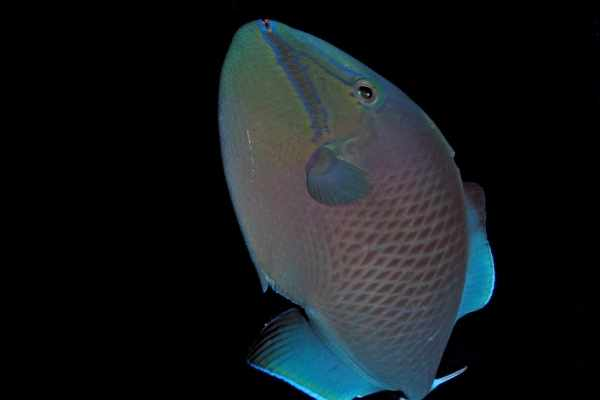 Niger triggerfish can vary in color