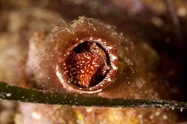 Large species of vermetid snail